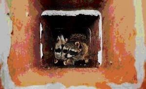 Raccoons in chimney