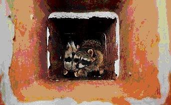 Raccoon Removal Woodbury MN