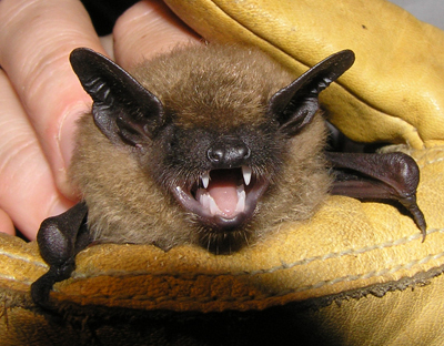 Minnesota Bat Prevention Services