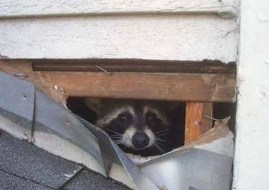 racoon-animal damage and removal mn
