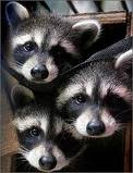 Raccoon Removal MN