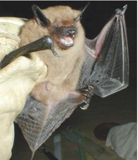 Woodbury Bat Removal