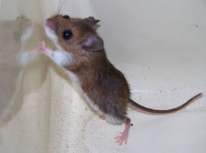 While the back and sides of the deer mouse can vary in shades of gray and brown, it should have a white belly. Note the bicolored tail of the deer mouse - the house mouse has a mono-color tail.