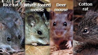 Deer Mice Removal Mn Minnesota Mice Prevention