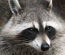 Raccoon Problem MN