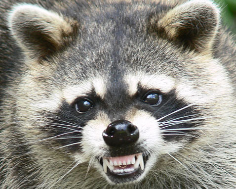 How Do Roof Rats Get In Attic Raccoon Removal MN | Minnesota Raccoon Prevention