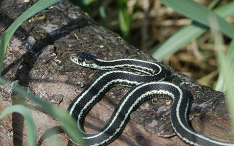 Snake Removal Services of Twin Cities, Minnapolis and St. Paul