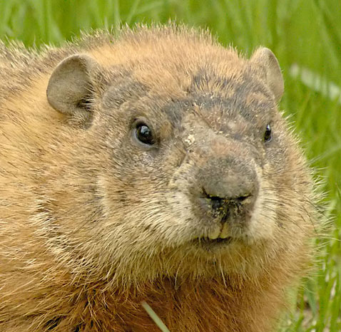 Woodchuck removal of Minneapolis and St. Paul