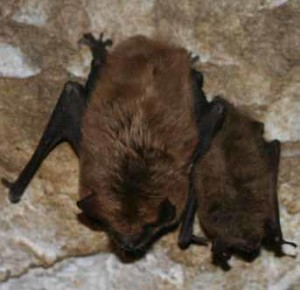 Bat Removal MN