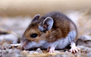 Image of a deer mouse