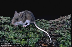 Adult deer mouse. Note the large ears and eyes and the white underside of the body and tail—all distinguishing characteristics between the deer mouse and house mouse.