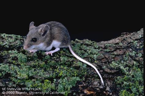 MN Wild Animal Management | Mice & Deer Mice