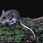 Adult Deer Mouse - Adult deer mouse. Note the large ears and eyes and the white underside of the body and tail—all distinguishing characteristics between the deer mouse and house mouse.