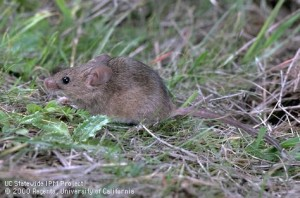 Adult House Mouse-House mice are frequently found in residential households. They lack a white underside and have a relatively hairless tail.