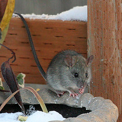 Mouse Infestation Plymouth MN