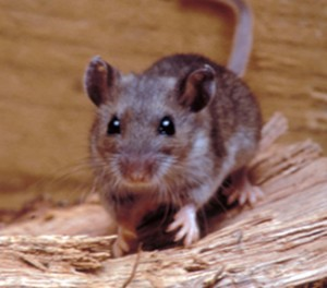 Deer Mouse Removal MN