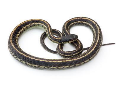 Snake Removal Minnesota