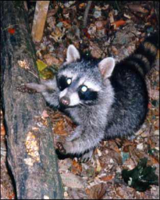 Woodbury Raccoon Wildlife Removal