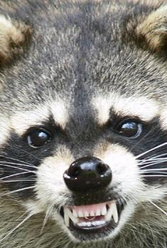 Raccoon Removal Services MN