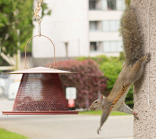 Squirrel Removal