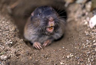 Wild Animal Management Minnesota Mole Removal Part 2