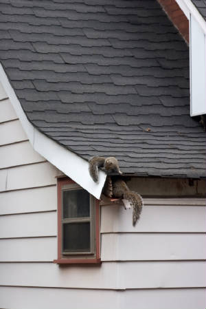 Andover Squirrel Removal