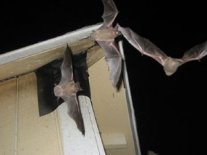 Removing Bats From An Attic