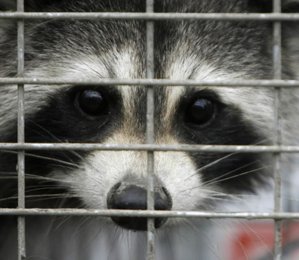 Raccoon Trapping Service | Raccoon Removal Minneapolis, MN