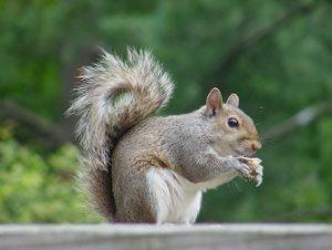 Gray Squirrel Removal