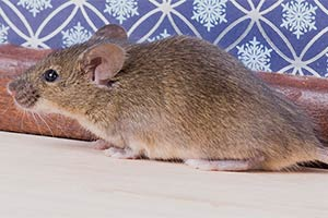 Mice Prevention and Removal Services in Minnesota