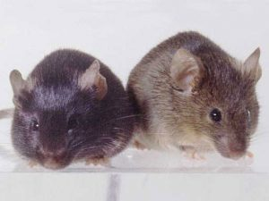 Mice Removal in MN | Mice Proofing Services