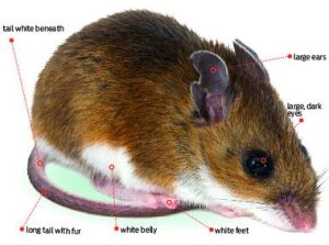 Mice Removal Services In The Twin Cities Metro