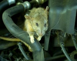 Rodent Removal Shoreview