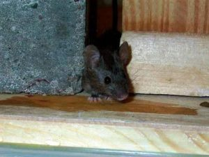 Prevent Mice from Getting in Your Home