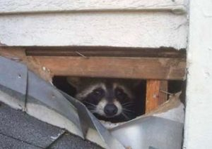 Raccoons In Your House In MN