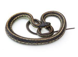 Snakes Nest Removal Service | Snake Removal MN
