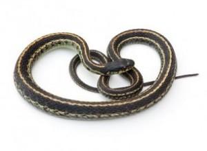 Humane Snake Removal
