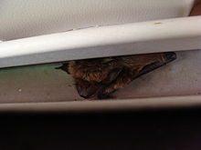 bat expert