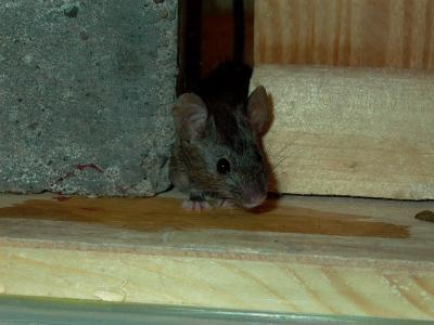 Mouse Removal Burnsville