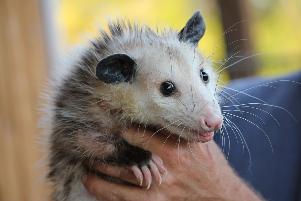 Opossum Removal MN