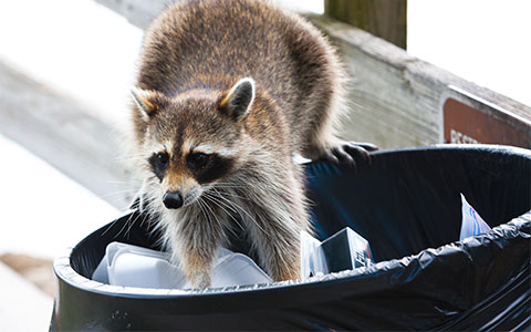 Raccoon Exterminator Serving Minnesota