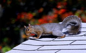 Squirrel Removal MN | Squirrel Exterminator Services