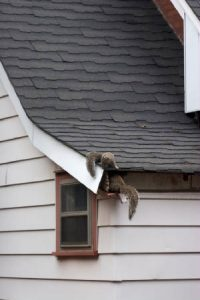 Squirrels in Attic Playing